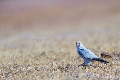 Grey Falcon - On the ground (Falco hypoleucos)