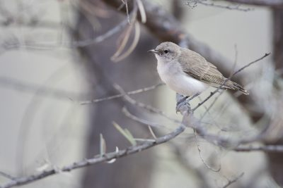 Grey Honeyeater (Conopophila whitei) - Alice Springs, NT
