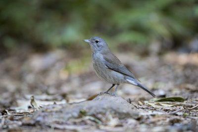 Grey Shrike-thrush (Colluricincla harmonica)