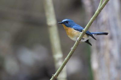 Hill Blue-flycatcher - Male (Cyornis banyumas)1