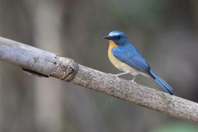 Hill Blue-flycatcher - Male (Cyornis banyumas)2