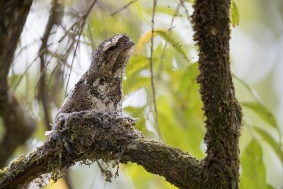 Hodgson's Frogmouth - On a nest (Batrachostomus hodgsoni)