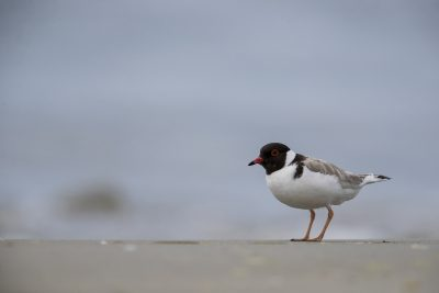 Hooded Plover (Thinornis cucullatus) 2