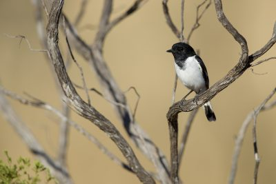 Hooded Robin (Male) - Buchanan Highway, Victoria River
