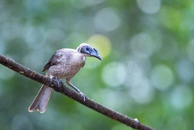 Hornbilled Friarbird