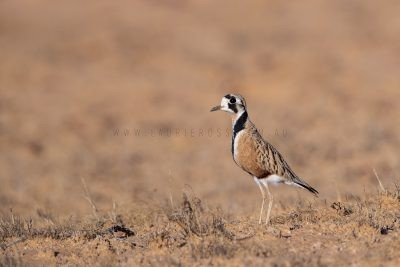 Plovers, Lapwings and Plains-wanderer