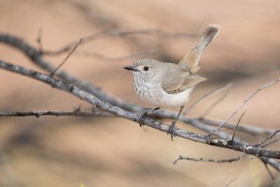 Western Inland Thornbill (Acanthiza apicalis whitlocki) - Alice Springs, NT