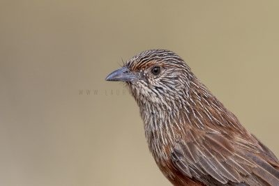 Kalkadoon Grasswren - Female Portrait