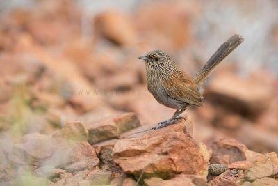 Kalkadoon Grasswren - Male (Amytornis ballarae)3