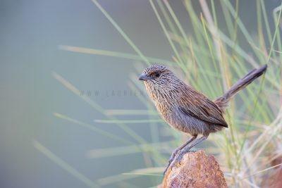 Kalkadoon Grasswren - Male (Amytornis ballarae).1