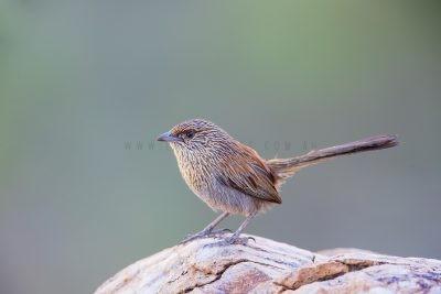Kalkadoon Grasswren - Male (Amytornis ballarae).4