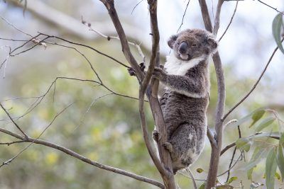 Koala - Queensland