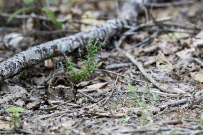 Large-tailed Nightjar (Caprimulgus macrurus)3