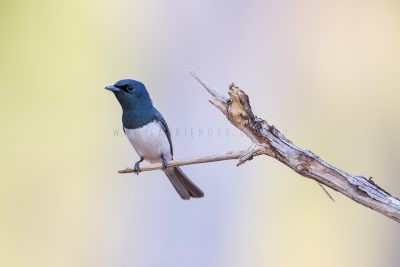 Leaden Flycatcher - Male (Myiagra rubecula concinna).1