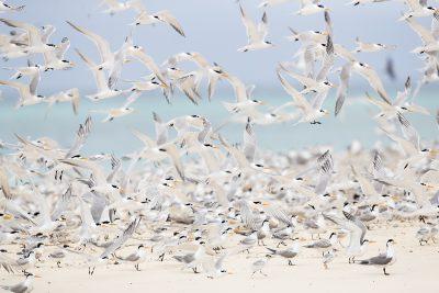 Lesser Crested Terns (Thalasseus bengalensis torresii)