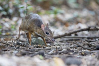 Lesser Mouse Deer (Tragulus kanchil)