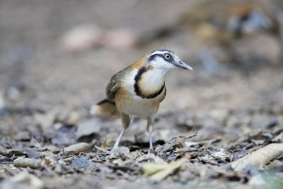 Lesser Necklaced Laughing-thrush (Garrulax monileger)