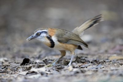 Lesser Necklaced Laughing-thrush (Garrulax monileger)1