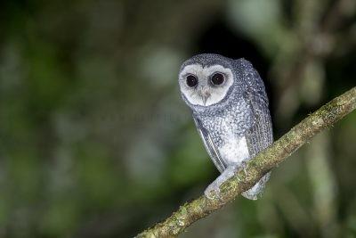 Lesser Sooty Owl (Tyto tenebricosa multipunctata)