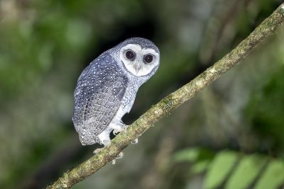 Lesser Sooty Owl (46)