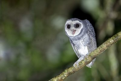 Lesser Sooty Owl - Calling
