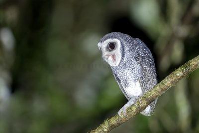 Lesser Sooty Owl - Screaming
