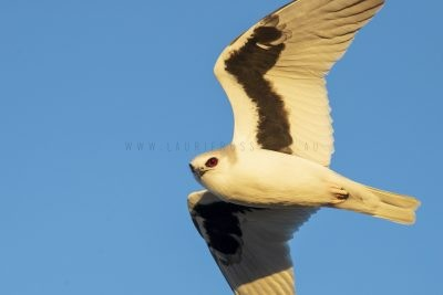 Letter-winged Kite (Elanus scriptus)2