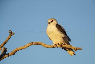 Letter-winged Kite (Elanus scriptus)3