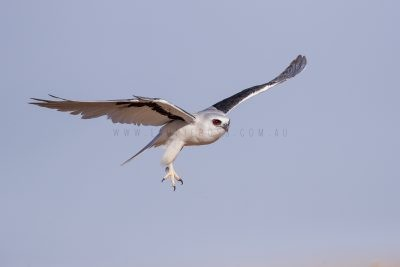 Letter-winged Kite - In flight.3