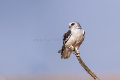 Letter-winged Kite - Perched