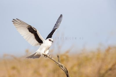 Letter-winged Kite - Wings Out