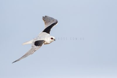 Letter-winged Kite.5
