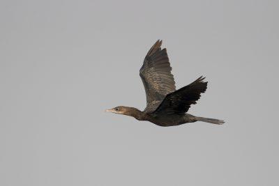 Little Cormorant - In Flight (Microcarbo niger)