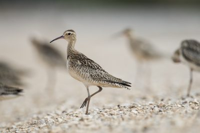 Little Curlew (Numenius minutus).