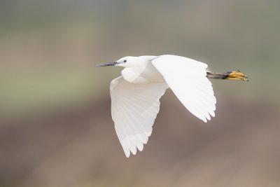 Little Egret - In Flight (Egretta garzetta)