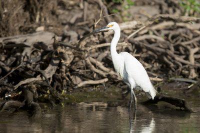 Little Egret (Egretta garzetta nigripes) - Yellow Waters Billabong, Kakadu