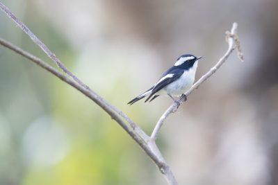 Little Pied Flycatcher - Male (Ficedula westermanni)