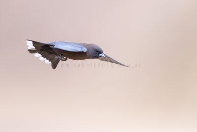 Little Woodswallow - In Flight.2