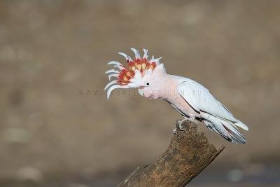 Major Mitchell's (Pink) Cockatoo - Male with crest up (Lophochroa leadbeateri leadbeateri)