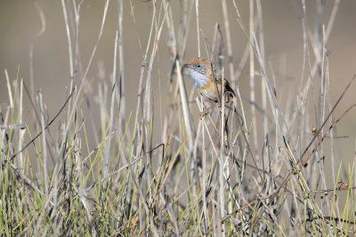 Mallee Emu-wren - Male (Stipiturus mallee)