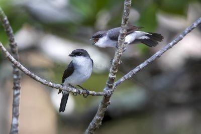 Mangrove Robin - Pair (Peneonanthe pulverulenta leucura)