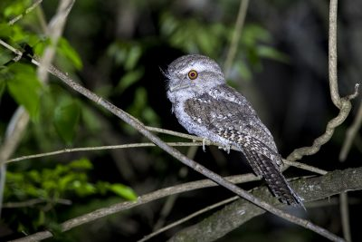 Marbled Frogmouth (Podargus ocellatus).
