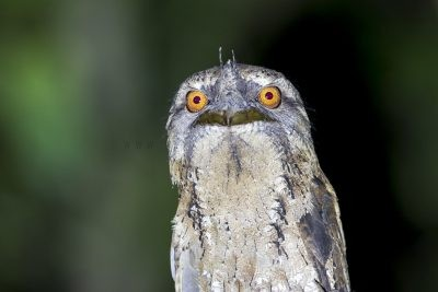 Marbled Frogmouth - Portrait