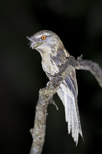 Marbled Frogmouth - Side