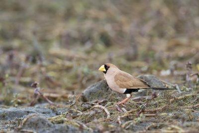 Masked Finch (Poephila personata personata)4