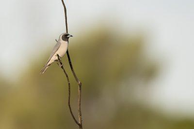 Masked Woodswallow (Artamus personatus) - Ulara, NT