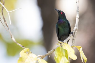 Metallic Starling (Aplonis metallica)