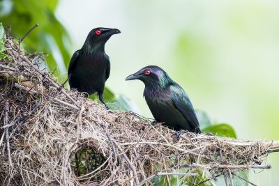 Metallic Starling - Pair at nest (Aplonis metallica)