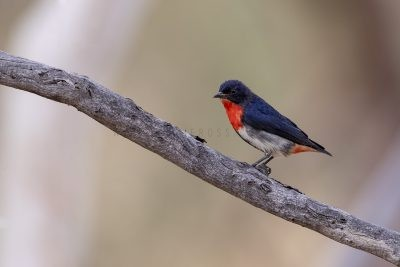 Mistletoebird - Male