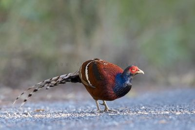 Mrs Humes Pheasant - Male